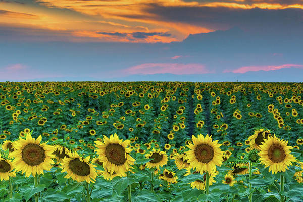 Photograph - Colorado Sunflowers And Sunset by John De Bord