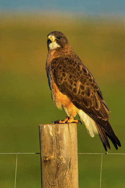 Photograph - Colorado Swainson's Hawk by John De Bord