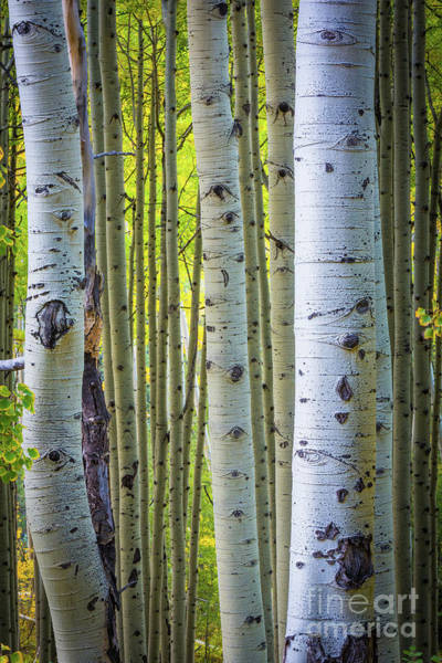 Photograph - Colorado Trunks by Inge Johnsson