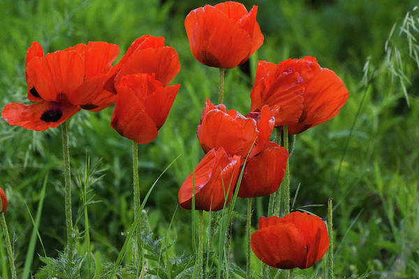 Photograph - Colorado Wild Poppies by John De Bord