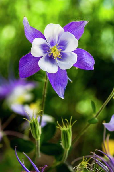 Photograph - Colorado Wildflower Columbines by Teri Virbickis