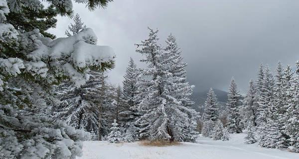 Photograph - Colorado Winter Pine Panorama by Cascade Colors