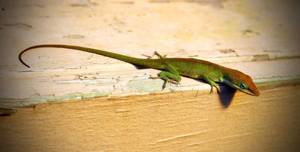 Brown Anole Wall Art - Photograph - Colorful Anole by Cynthia Guinn