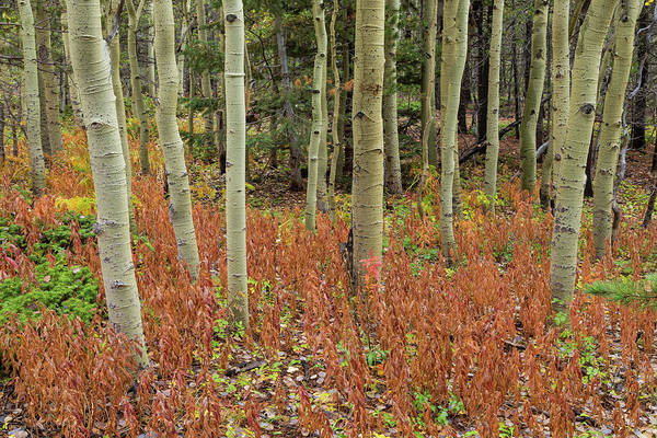 Photograph - Colorful Aspen Forest Floor by James BO Insogna