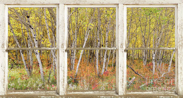 Photograph - Colorful Aspen Tree Forest White Rustic Panorama Window View by James BO Insogna