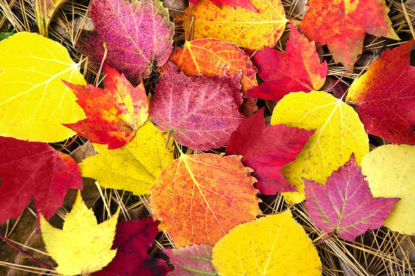 Photograph - Colorful Autumn Leaves by Christina Rollo