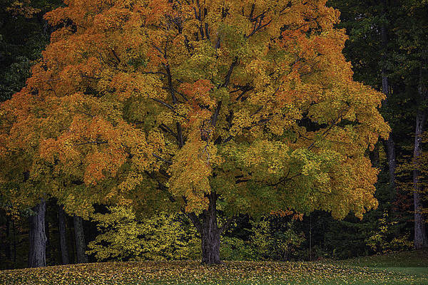 Photograph - Colorful Autumn Maple Tree by Garry Gay