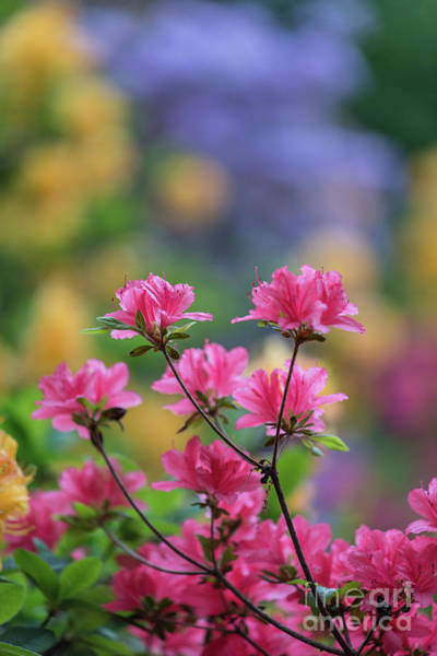Depth Of Field Photograph - Colorful Azaleas Montage by Mike Reid