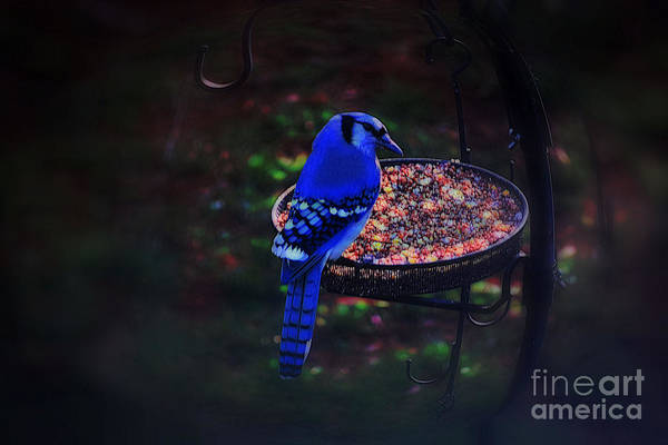 Photograph - Colorful Blue Jay by Patti Whitten