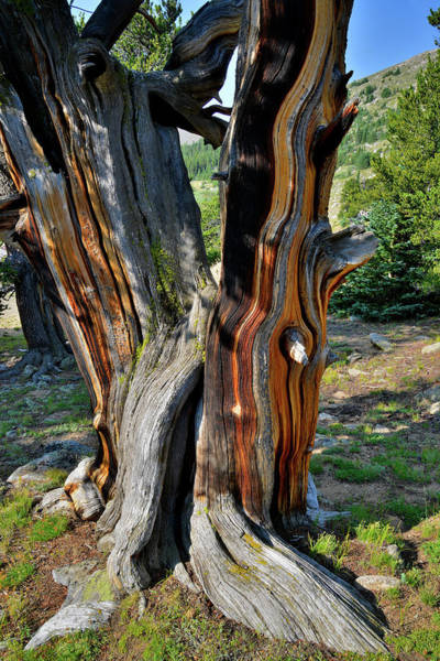 Photograph - Colorful Bristlecone Pine On Mt. Goliath by Ray Mathis