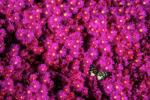 Photograph - Colorful Butterfly On Pink Flowers by Garry Gay