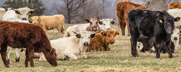 Photograph - Colorful Cattle 2 by Karen Saunders