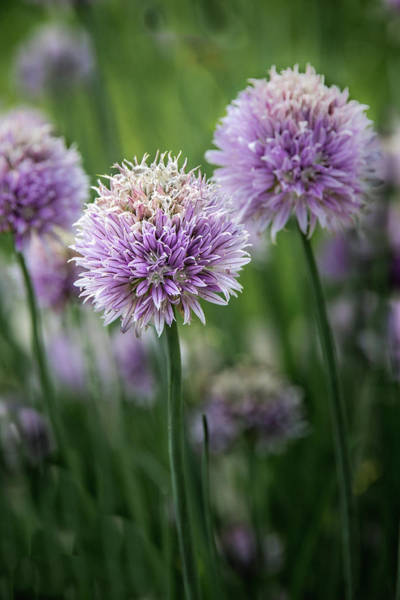 Photograph - Colorful Chives by James Woody