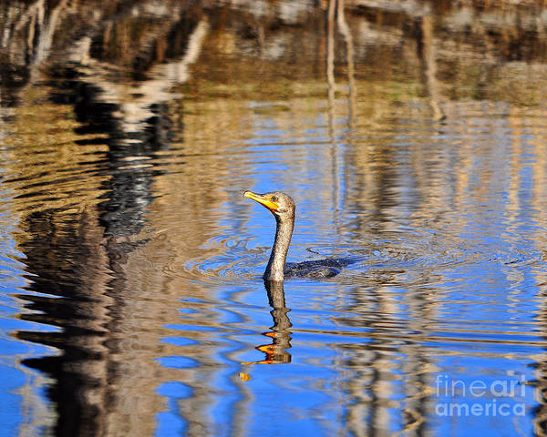 Phalacrocorax Auritus Wall Art - Photograph - Colorful Cormorant by Al Powell Photography USA