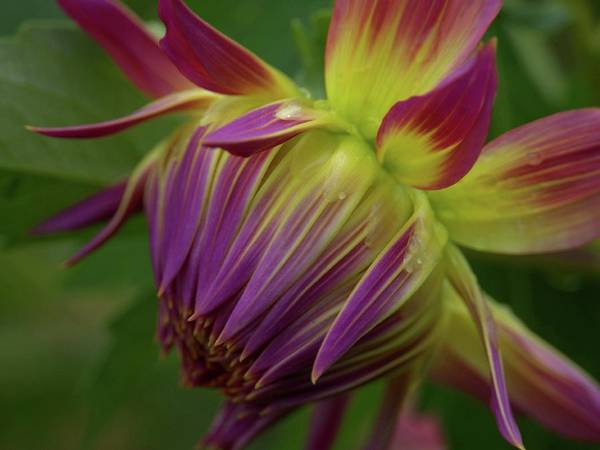Photograph - Colorful Dahlia Closeup by Patricia Strand
