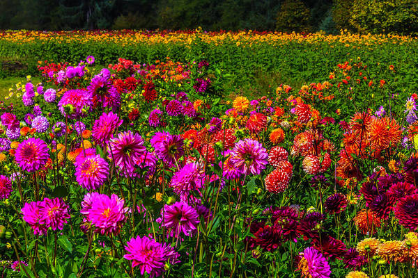 Wall Art - Photograph - Colorful Dahlias Oregon by Garry Gay
