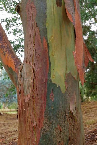 Photograph - Colorful Eucalyptus Tree Bark 4 by Gill Billington