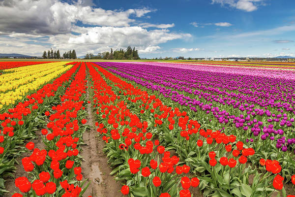 Photograph - Colorful Field Of Tulips by Pierre Leclerc Photography