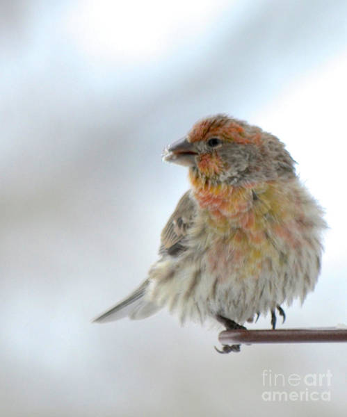 Photograph - Colorful Finch Eating Breakfast by Cindy Schneider