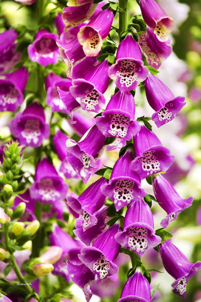 Photograph - Colorful Foxglove Flowers by Christina Rollo