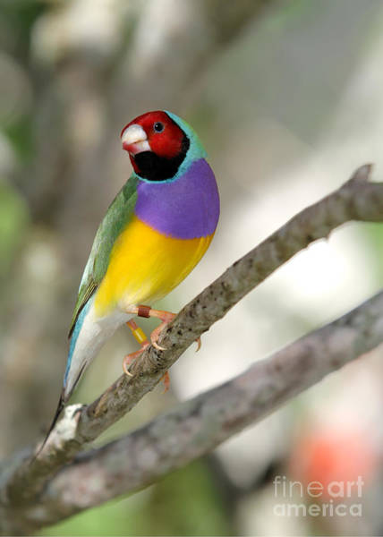 Photograph - Colorful Gouldian Finch by Sabrina L Ryan