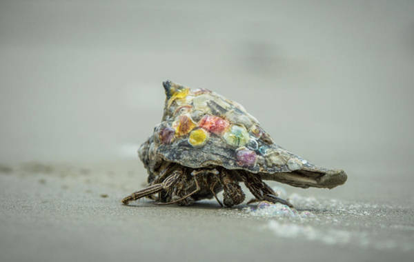 Photograph - Colorful Hermit Crab by Chris Bordeleau