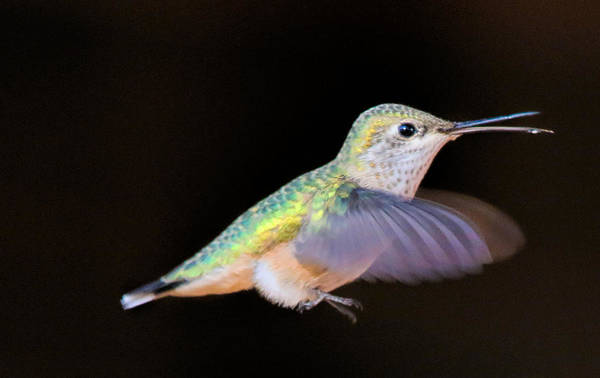 Photograph - Colorful Hummingbird by Dorothy Cunningham