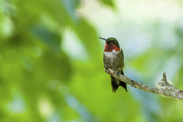 Photograph - Colorful Hummingbird by Lori Coleman