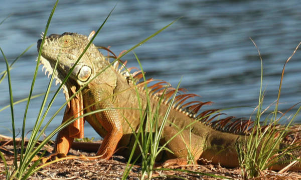 Photograph - Colorful Iguana by Sally Sperry