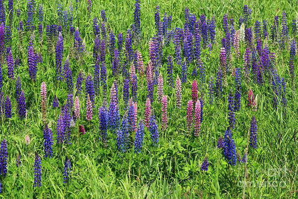 Photograph - Colorful Lupines by Les Palenik