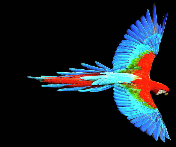 Wall Art - Painting - Colorful Parrot In Flight by Tony Rubino