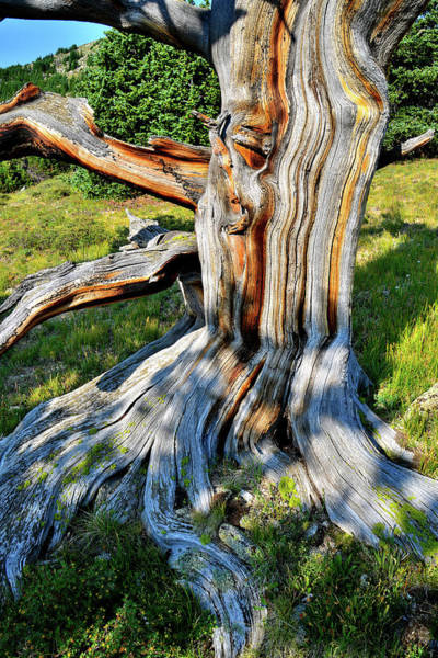 Photograph - Colorful Patterns In Ancient Bristlecone Pine On Mt. Goliath by Ray Mathis