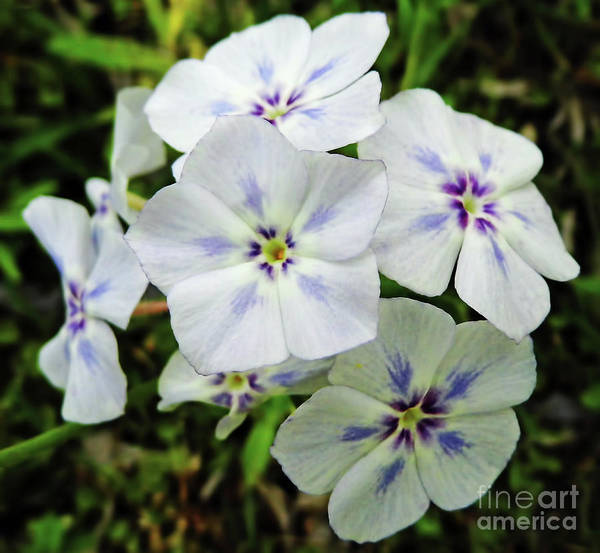 Photograph - Colorful Phlox by D Hackett