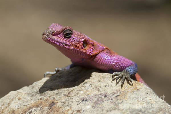 Spider Rock Photograph - Colorful Rock Agama by Bernd Rohrschneider