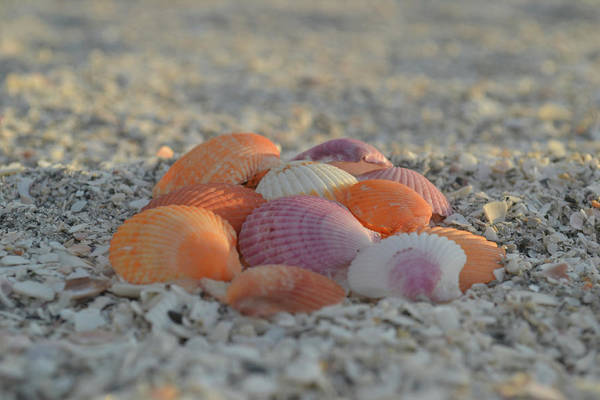 Photograph - Colorful Scallop Shells by Melanie Moraga