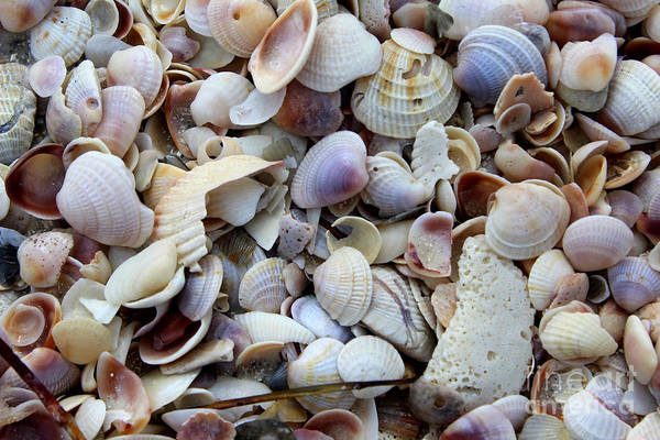 Photograph - Colorful Shells by Jeanne Forsythe