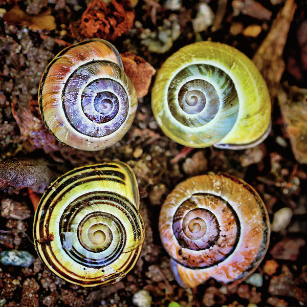 Photograph - Colorful Snail Shells Still Life by Peggy Collins