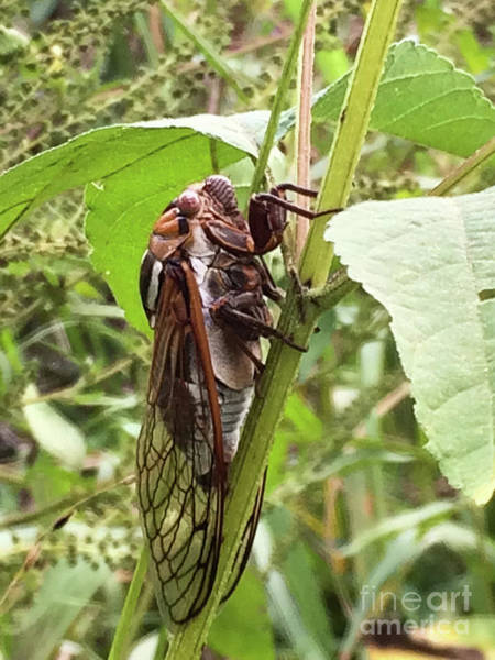 Photograph - Colorful Summer Cicada by James Fannin