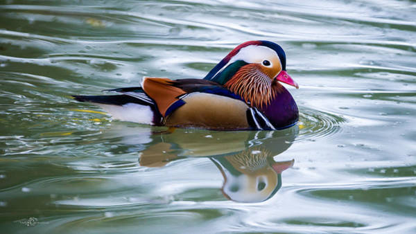 Mandarin Duck Photograph - Colorful by Torbjorn Swenelius