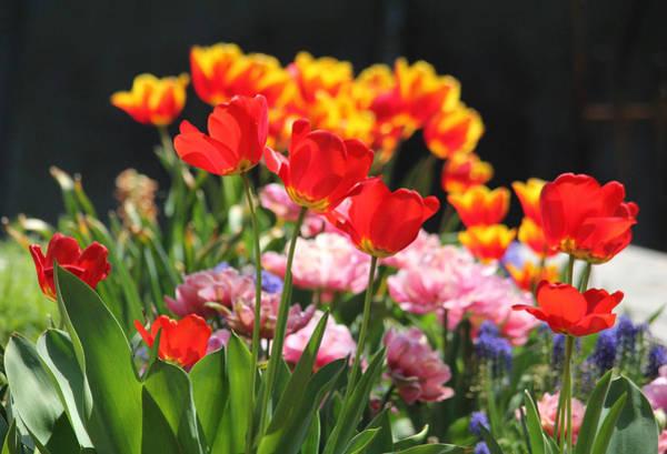 Photograph - Colorful Tulip Garden by Trina Ansel