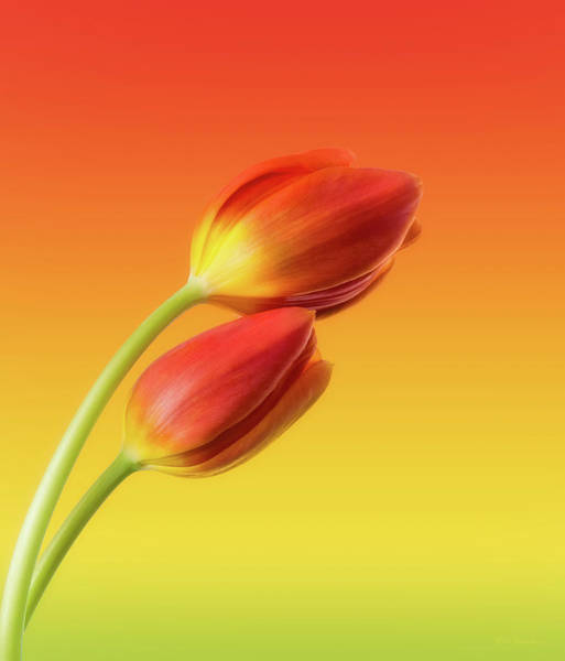 Red Green Photograph - Colorful Tulips by Wim Lanclus