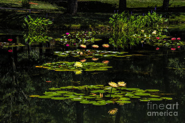 Photograph - Colorful Waterlily Pond by Barbara Bowen