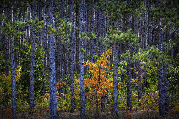 Photograph - Colorful Yellow Orange Maple Tree Among A Grove Of Pine Trees by Randall Nyhof