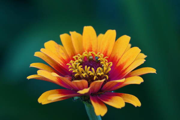 Photograph - Colorful Zinnia 4 by Dimitry Papkov