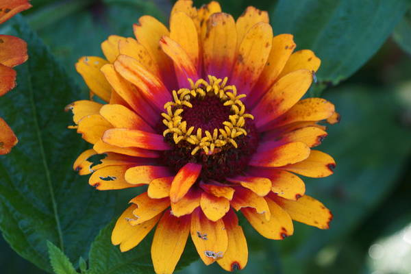 Photograph - Colorful Zinnia 5 by Dimitry Papkov