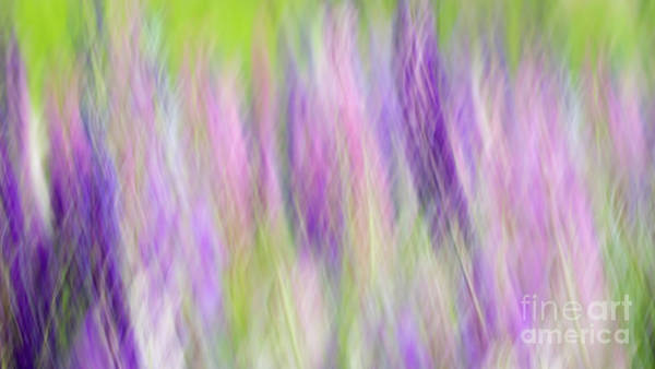 Photograph - Colors Of Lupine by Lori Dobbs