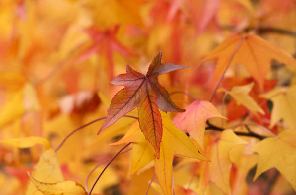 Photograph - Colors Of Sweetgum Two by Rachel Cohen