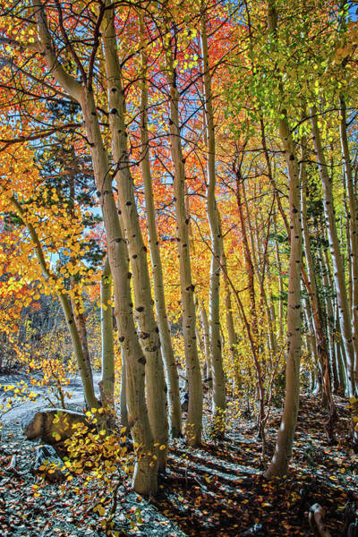 Photograph - Colors Of The Aspen Forest by Lynn Bauer