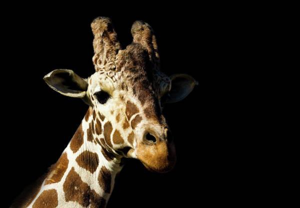 Wall Art - Photograph - Colour Giraffe On Black by Chris Whittle