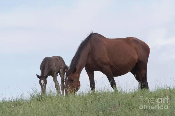 Wall Art - Photograph - Colt And Mare Grazing by Jeff Swan